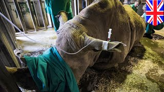 WILTSHIRE, ENGLAND — With less than a handful of northern white rhinos left on Earth, a team of UK scientists at a British Zoo...