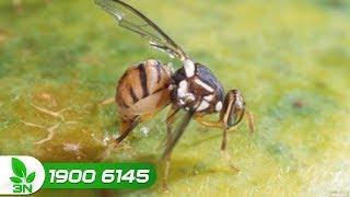Trồng trọt | Đặt bẫy diệt gọn ruồi vàng hại táo