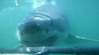 Shark Attacks Cage Deep Blue Sea - Oh My Fingers!!!