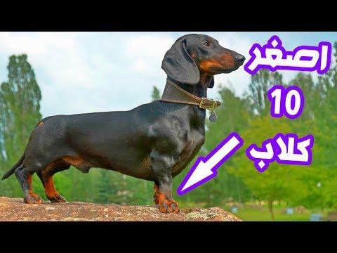 العرب اليوم - شاهد:أصغر وأغرب 10 كلاب في العالم