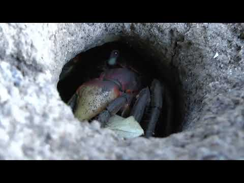 Südafrikanische Mangroven: Krabben unterwegs