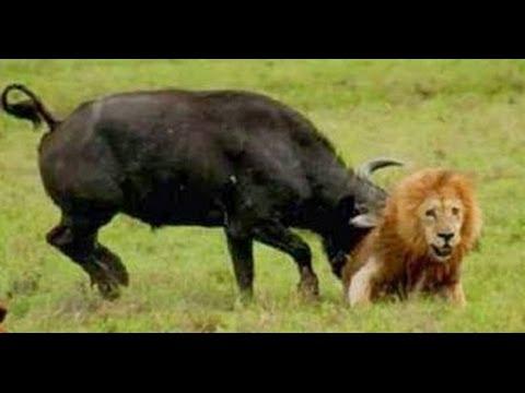 Buffalo - Group of Buffalo kills lion.