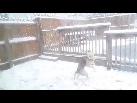 Tämä koira tykkää kun sataa lunta