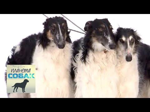 Русская псовая борзая. Планета собак