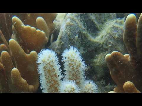 Gladiator corals defend their territory