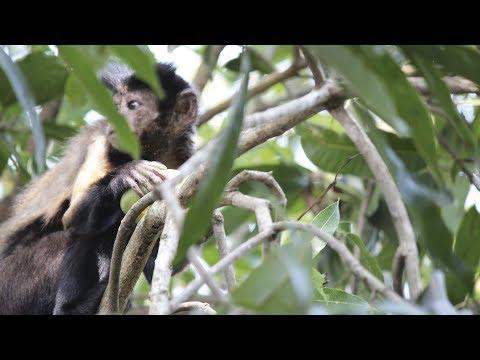 Liberacion de monos maiceros en la RNSC Matabrava
