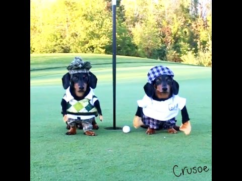 Crusoe the Dachshund Plays Golf with His Brother