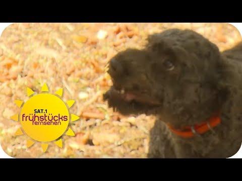 Trüffelsuche im Wald mit dem Hund - Mirko Reeh ist dabei | SAT.1 Frühstücksfernsehen | TV