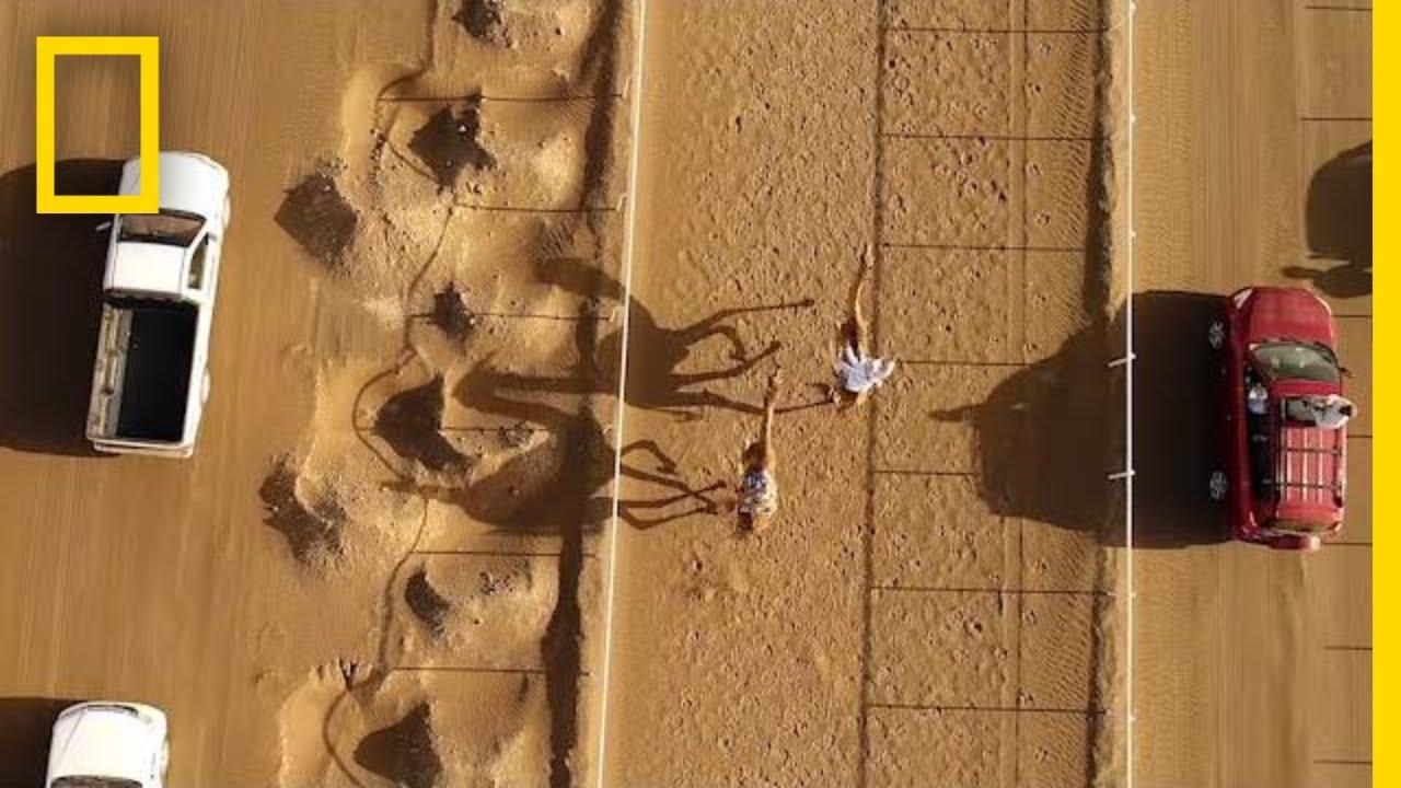 Традиционные гонки на верблюдах под камерой дрона