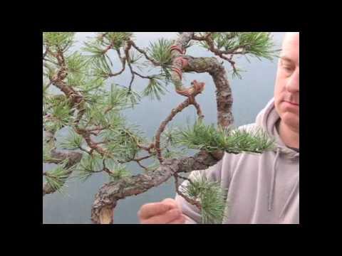 Chiêm ngưỡng 1 cây Thông