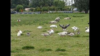 Goose and Sheep on the Field