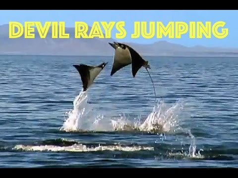 Devil Rays Jumping, Koh Lipe, Thailand, by Freedom Divers Phuket