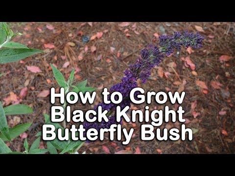 How to grow Black Knight Butterfly Bush (Dark Purple Butterfly Bush)