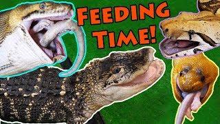 Video Feeding our BIG Reptiles! MP3, 3GP, MP4, WEBM, AVI, FLV Januari 2019