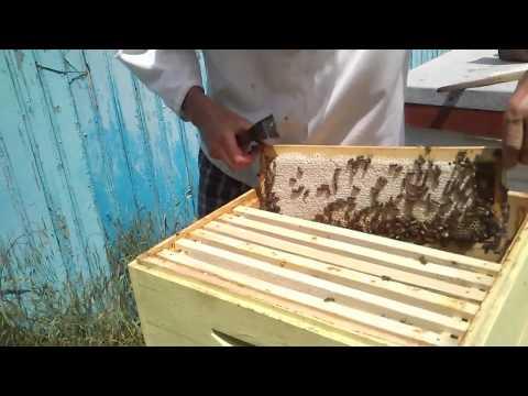 salcam - Extragerea mierii de salcam 2014: A fost un cules bun anul acesta.Ramele capacite in majoritate total.