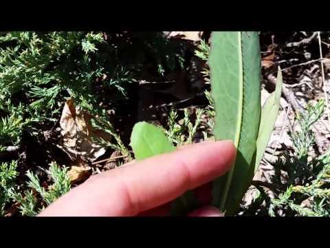 How to Identify Prickly Lettuce (Lactuca serriola)