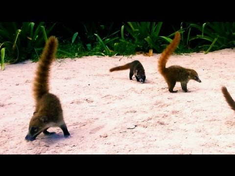 R3DLIN3S - Coatis Feeding Mexico Tropical Raccoon. petting coatis. Feeding on the beach in Cancun Mexico. They have huge claws but seam pretty harmless. R3DLIN3S redlin...