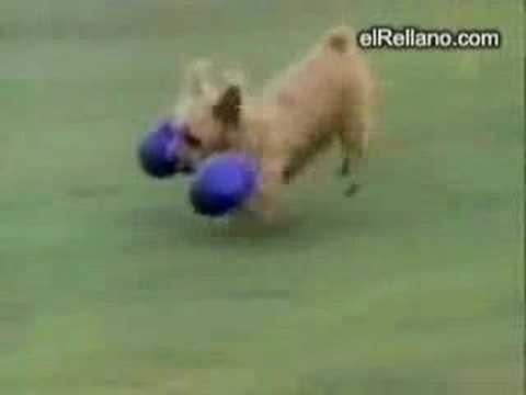 Vídeos de perros graciosos