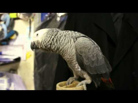 Beautiful African Grey Parrot
