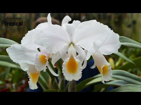 Cattleya trianae var. concolor: Pflege und zur Blüte b ...