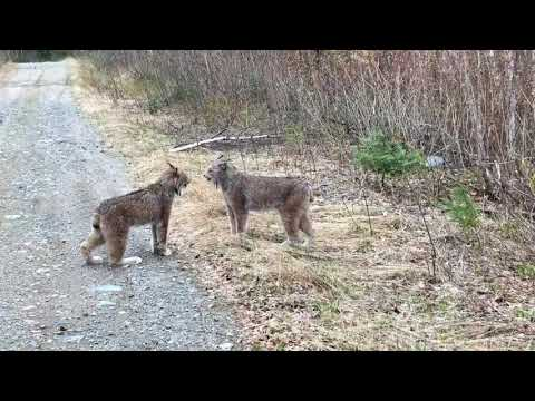 Two Lynx in Ontario Have Intense Conversation