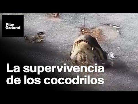 ¿Por qué los cocodrilos no mueren en aguas congeladas?
