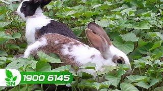 Chăn nuôi | Phối trộn thức ăn cho thỏ như thế nào mới đúng cách?