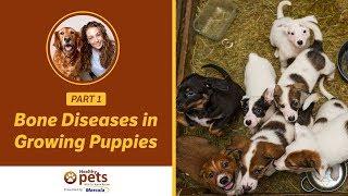 Bone Diseases In Growing Puppies (Part 1 Of 2)