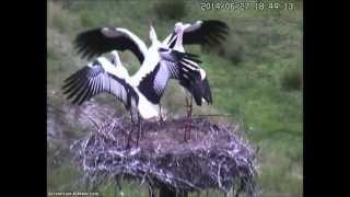 Toyooka Japan  City new picture : Oriental Storks, Toyooka, Japan, 27 06 2014, 18 43