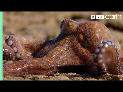 Extraordinary Octopus Takes To Land The Hunt