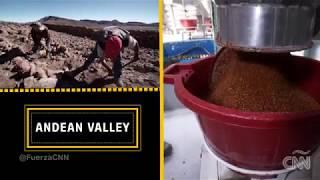 ¿Como se produce la quinua real que solo crece en Bolivia?