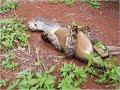 ثعبان يلتهم كنغر snake devours a Kangaroo
