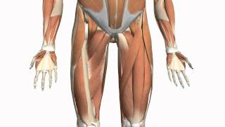 Muscles Of The Thigh And Gluteal Region - Part 2 - Anatomy Tutorial