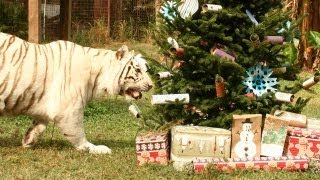 A Big Cat Christmas!