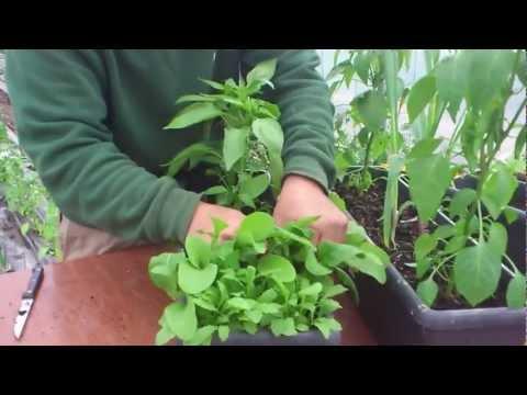 Cómo cosechar la rúcula//Balcón comestible//LlevamealhuertoTv
