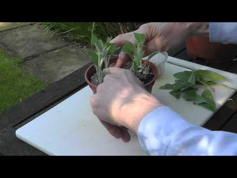 How to take sage cuttings – part 1 [video]