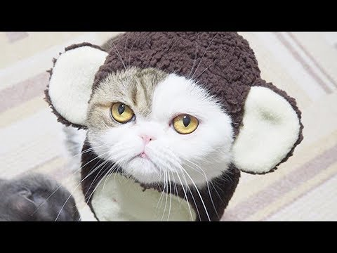 Funny cat videos - Funny Cats Videos  My Cat Play With Phone Compilation 2018  Funny Vines Tv
