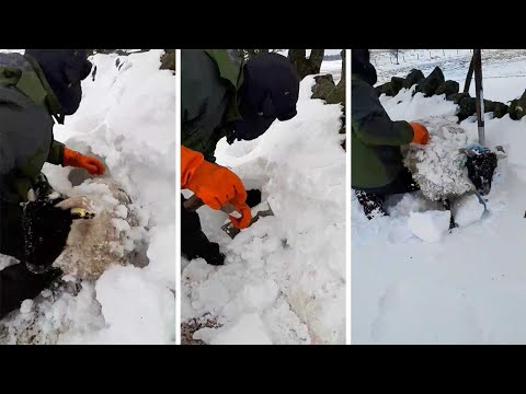 Farmari kaivaa lampaat esiin lumipyryn jälkeen