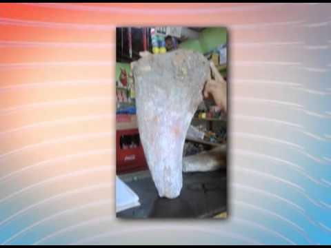 Fóssil de dinossauro é encontrado por pescador em Cajapíó no Maranhão