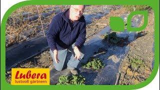Die besten Rhabarbersorten für den Garten