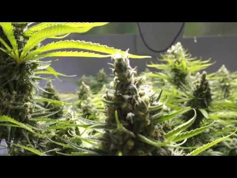 Epic 4K Blue Dream Record Breaker - Day 60