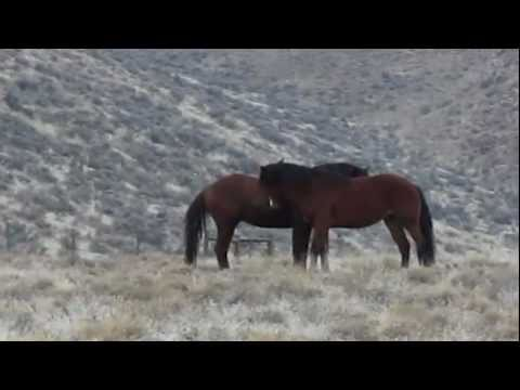 Mustang Stallions &