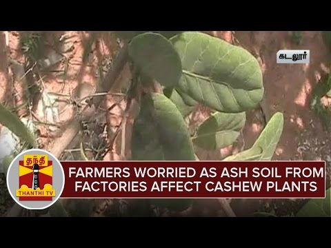 Farmers-Worried-as-ash-soil-from-factories-affect-Cashew-Plants-Thanthi-TV