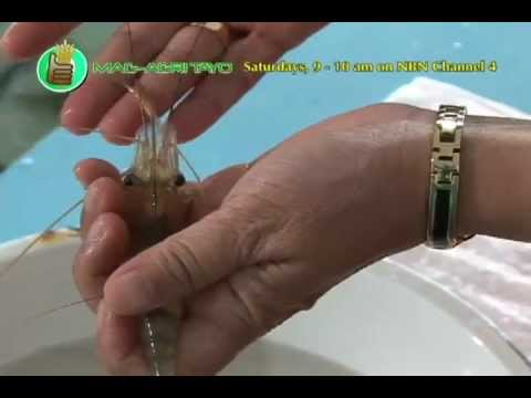 Southeast Asian Fisheries Development Center (SEAFDEC): Ulang (Freshwater Prawn) Hatchery Part 1