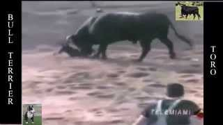 Video Que tal matanza!!!! Bull TerriEr se enfrenta a ToRo MP3, 3GP, MP4, WEBM, AVI, FLV November 2017