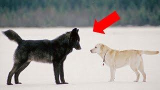 Download Video This is what happens when a wild wolf approaches a pet dog MP3 3GP MP4
