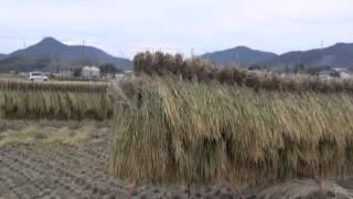 稲刈り風景2・ハザかけ