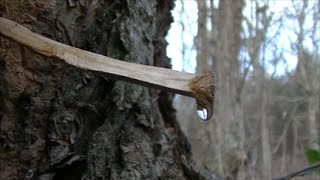 Video How To Get Water From Trees! MP3, 3GP, MP4, WEBM, AVI, FLV Oktober 2018