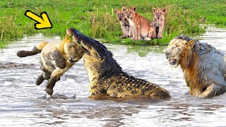 Download Video Huge Mistake Of The Crocodile When Provoke Lion Queen! Epic Battles Of King Lion Vs Crocodile MP3 3GP MP4