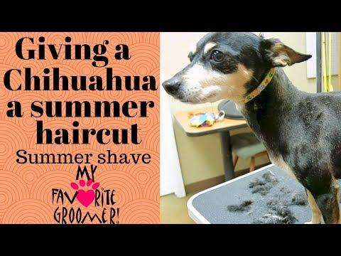 Chihuahua summer haircut Faith